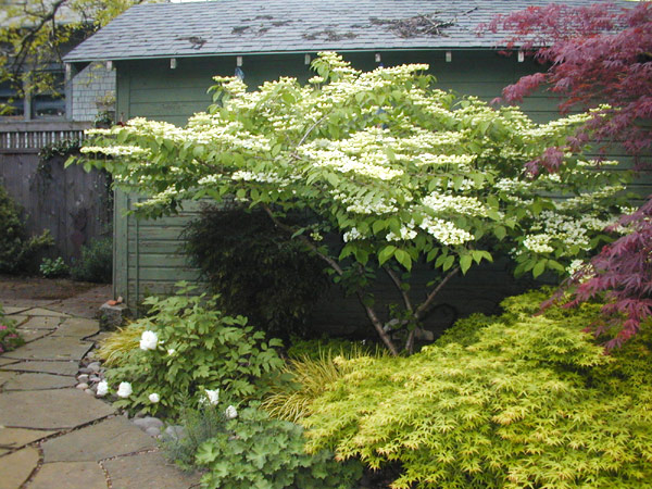 Japanese Maples, Doublefile Viburnum, Tree Peony and grasses provide year round interest against the stone patio in this small urban backyard.