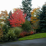 A boundary planting provides privacy and stunning fall color as well as privacy from neighbors along a driveway.