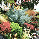 Colorful foliage brings this rockery landscape to life in the Autumn season.